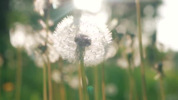 Pampelišky, foukané ve větru. Zelené trávě na jaře parku