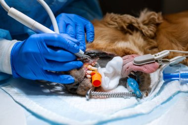 A vet surgeon brushes his dog's teeth under anesthesia on the op