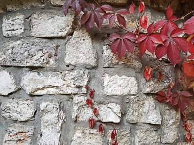 Autumn concept background .Wild grapes on a grunge white stone wall, colorful leaves of a beautiful plant, wispy ivy and old wall