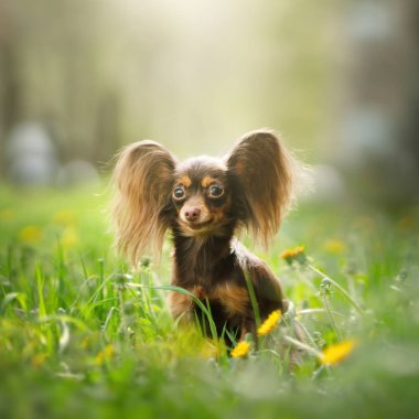 Russian Toy Terrier Dog Long Haired