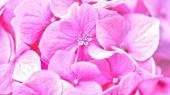 Fényképek Pink-Hortenzia virágok. Virágos, háttér
