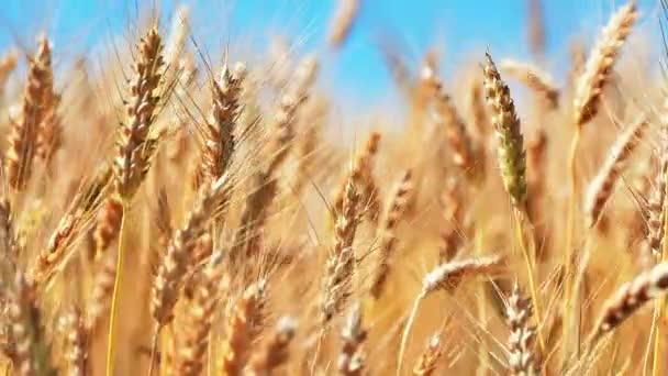 Creative abstraktní zemědělství, zemědělství a sklízení koncept: makro pohled čerstvé zralé pšenice ucho rostlin na letní pšeničné pole a modrá nebe s selektivní rozostření