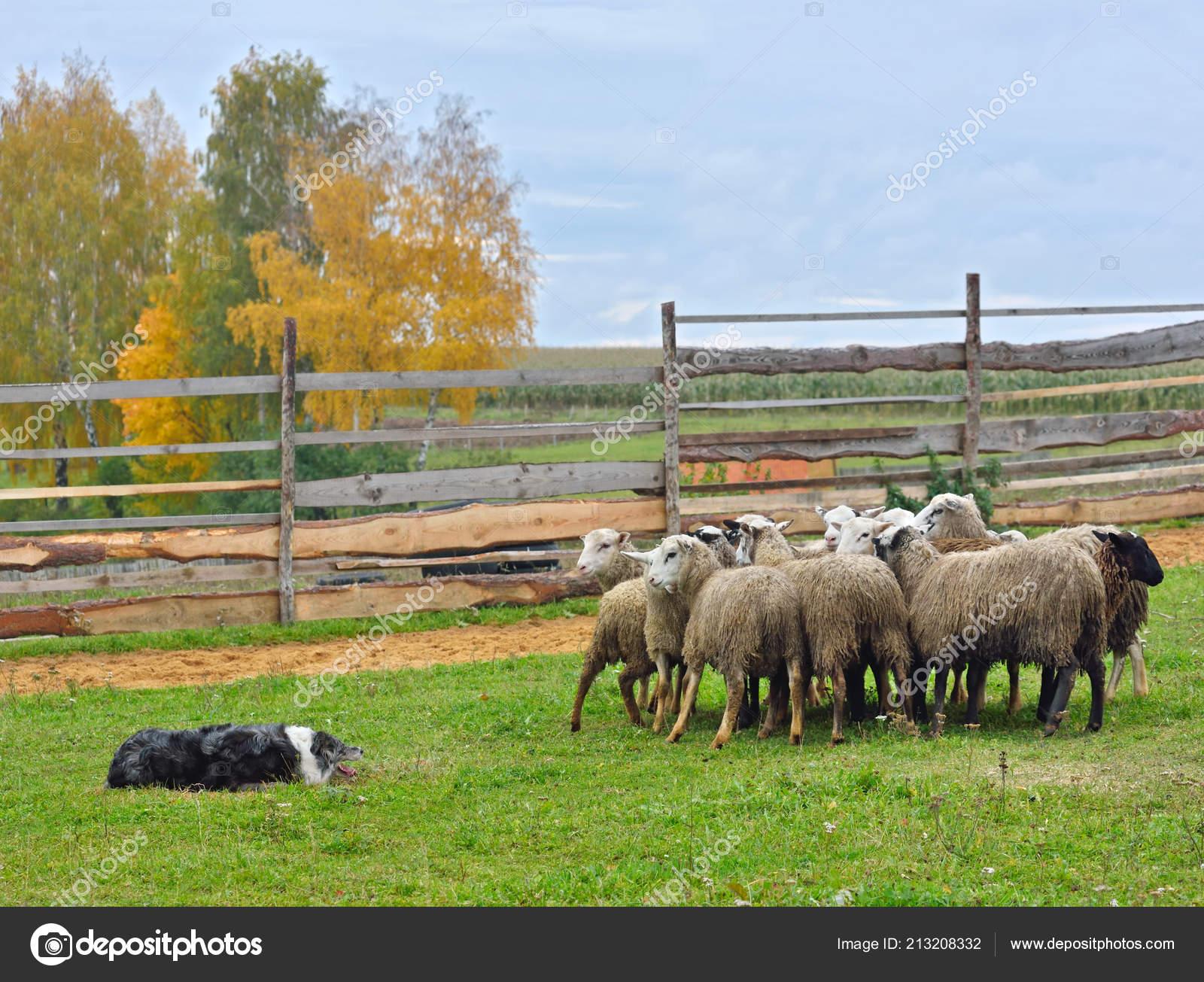 Border Collie Lavorando Come Cane Pastore Con Gregge Pecore Prato