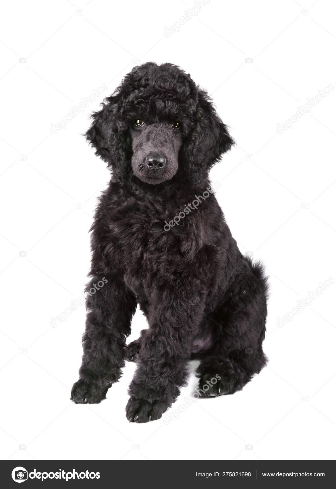 Black Poodle Puppy Stock Photo C Ealisa 275821698