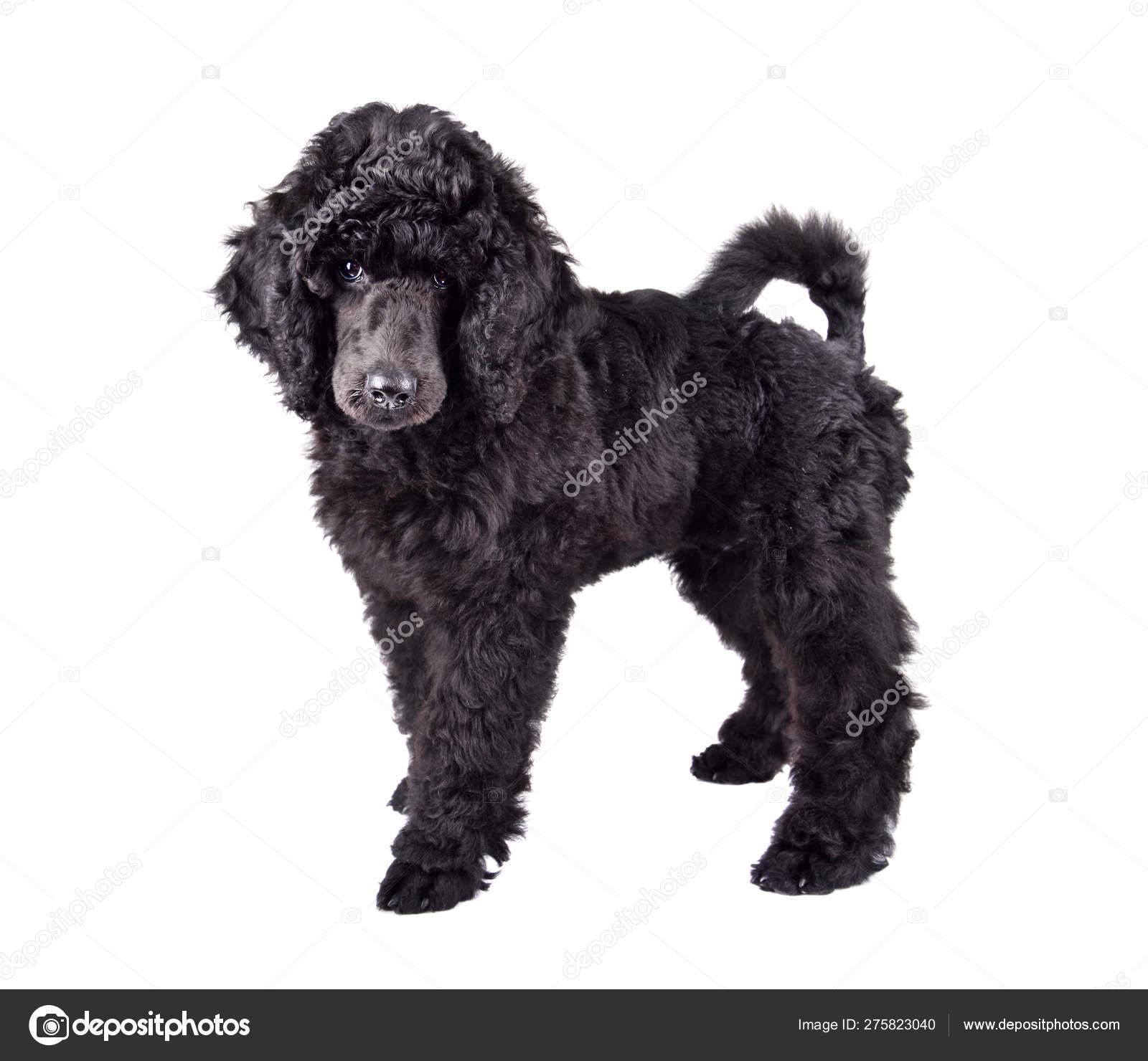 Black Poodle puppy — Stock Photo © eAlisa #275823040