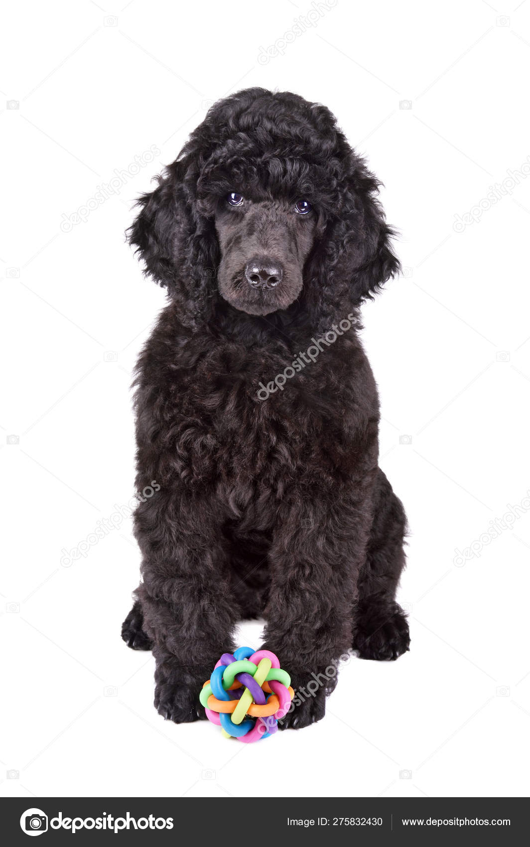 Two months old puppy of black poodle — Stock Photo © eAlisa #275832430