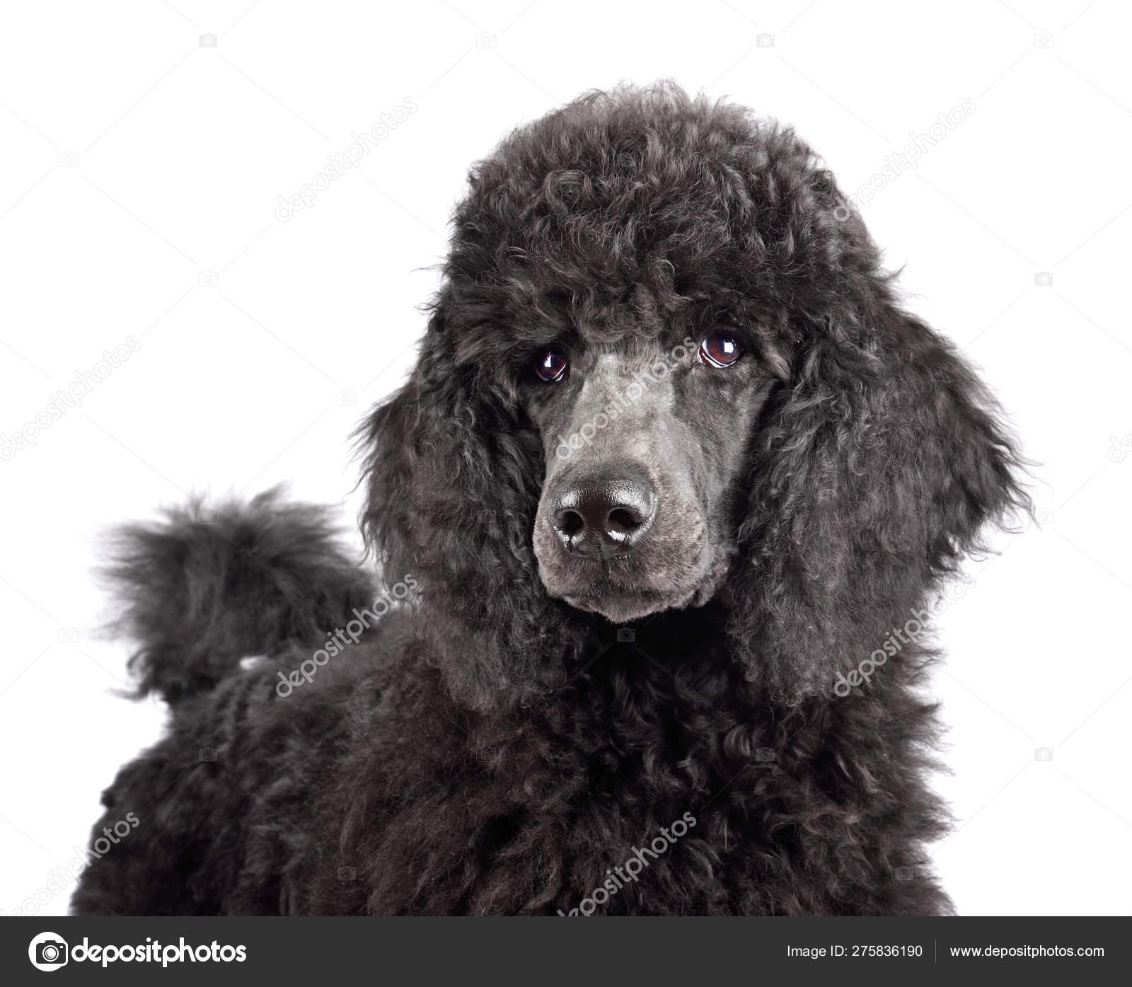 Portrait Of Black Poodle Puppy Stock Photo C Ealisa 275836190