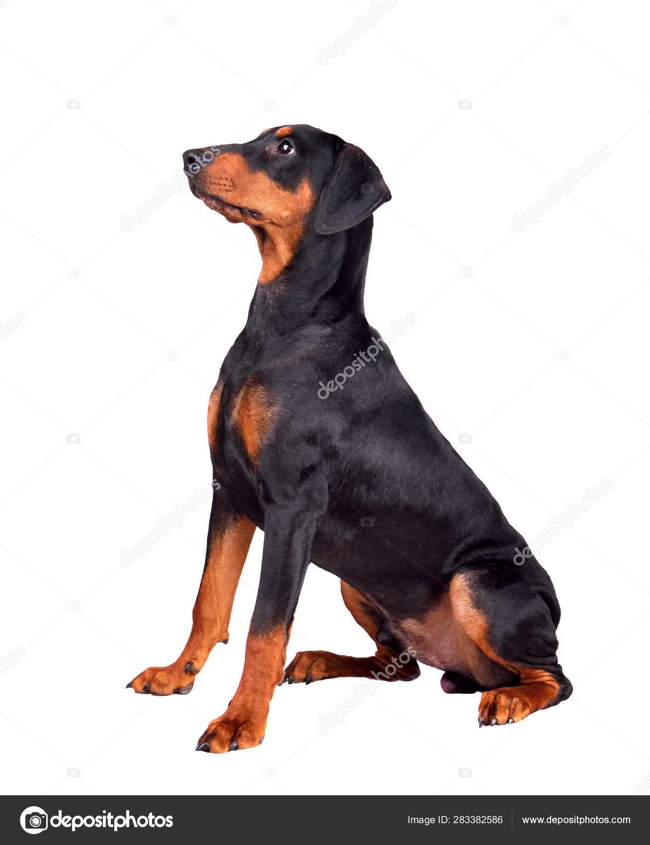 Doberman Pinscher Puppy Stock Photo C Ealisa 283382586