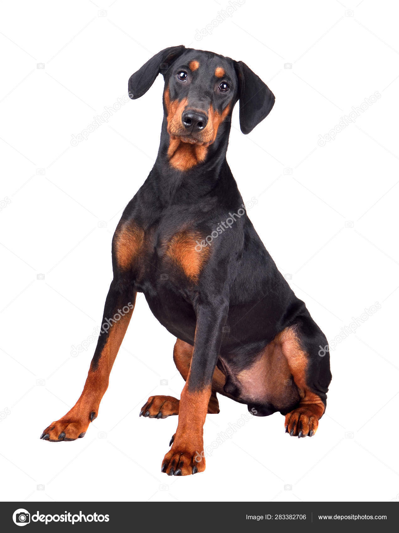 Sitting Doberman Pinscher Puppy Stock Photo C Ealisa 283382706