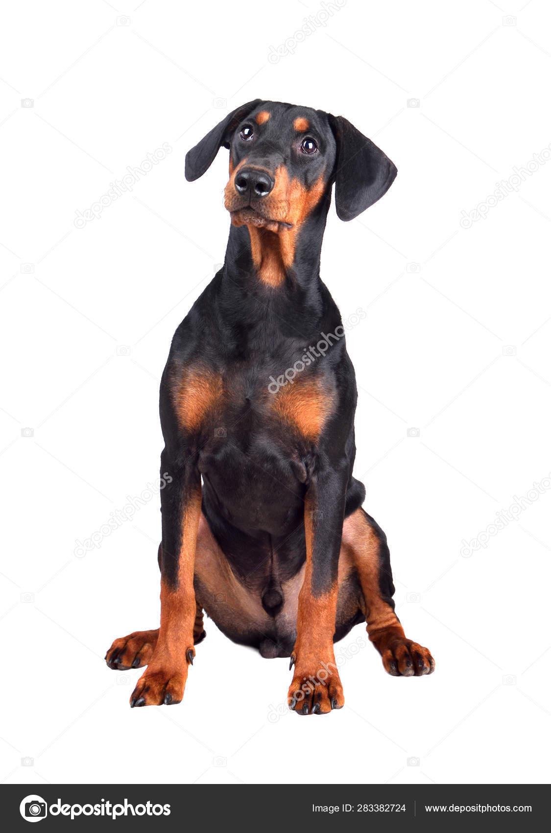 Doberman Pinscher Puppy Stock Photo C Ealisa 283382724