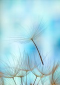 Fotografie dandelion seed background. Seed macro closeup. Spring nature