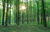 zöld erdei fák. természet zöld fa napfény hátterek