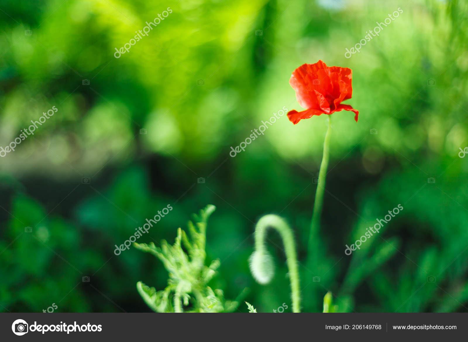 Poppy Flower Closeup On Green Backdrop Blossom Spring Flowers