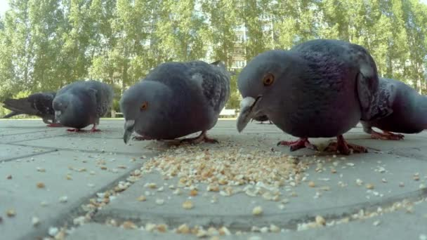 Close-up video of pigeons beaks eating seeds. Close-up