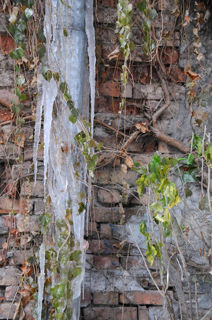 Frozen rainwater pipe and shrub against the brick wall background