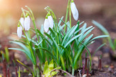 Čerstvě zelené bílé zasněžené květy rostoucí na jaře fores