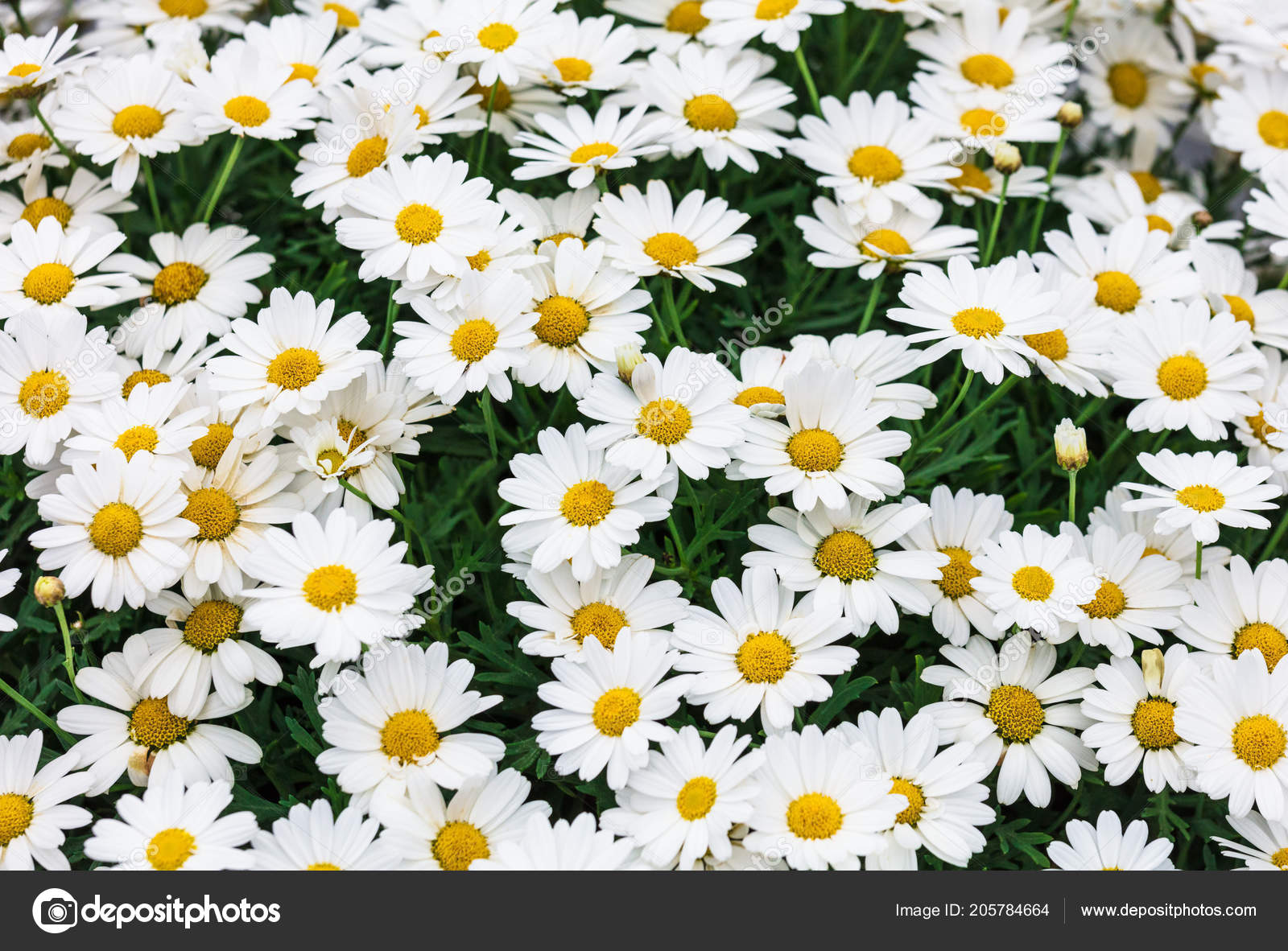 Daisy Flower Background Daisy Flower Asteraceae Family Stock Photo
