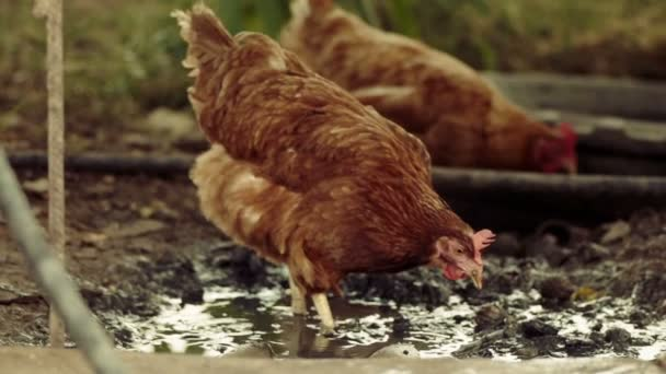 Zeitlupenaufnahme von zwei freilaufenden Hühnern in einem Stapelhof, die in einer Pfütze nach Würmern suchen. Zeitlupe 120fps