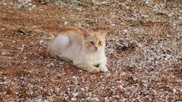 depositphotos_209237866-stock-video-a-ginger-white-cat-resting.jpg