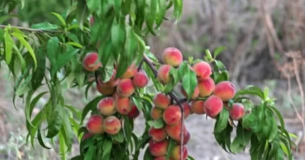 Gyümölcsös ágak érett őszibarack
