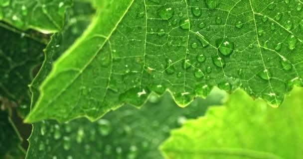 Drops of water on fresh green leaf in garden