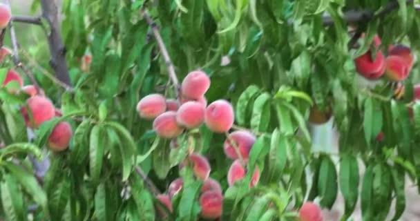 Őszibarack orchard kézi lövés