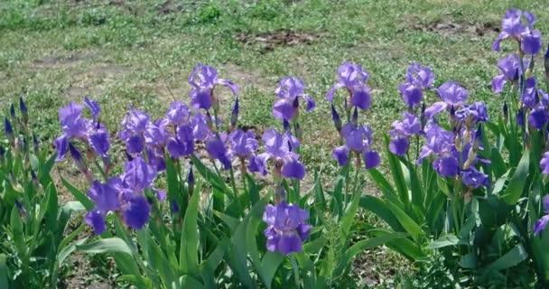 Blue irises in flowerbed