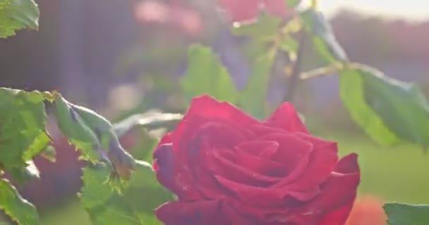 Rose blooming tender blossom bush plant in botanical garden in 4k close up shot. Tender blooming rose in garden backlit with sunlit