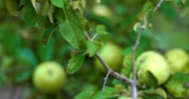 Alma fa ágai kézi 4k a zöld éretlen Alma gyümölcsös lövés