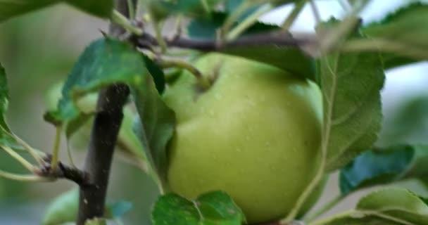 Makró az almafa zöldalma éretlen gyümölcsöt az ágak