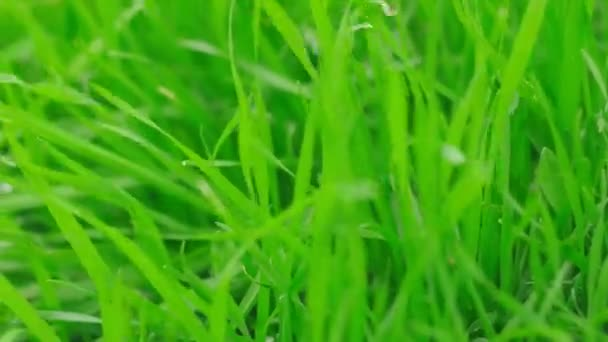 Detailní záběr na zelené trávě na jaře vlající s větrem