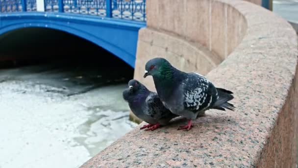Two pigeons mating sitting on granite fence