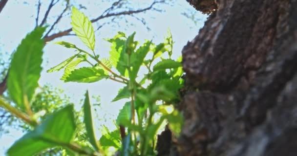Ulmenstamm mit frischen Blättern und Tagessonne
