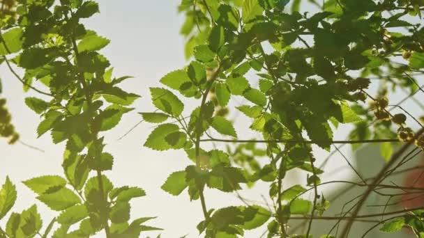 Ulmenbaum zweigt mit Blättern vor dem Himmel
