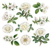 Watercolor illustrations of white flowers