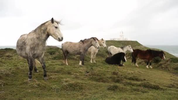 Divocí koně v krajině ve Walesu před deště bouře. Stádo poníků venku s majákem na pozadí. Příroda a zvířata pojmy