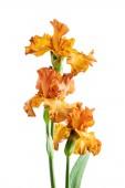 Fotografie iris flower  isolated on white background