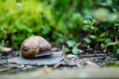 snail in the garden. animal