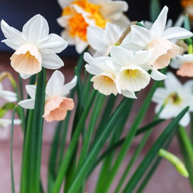 narcissus flowers, close up