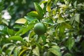 Lindenfrüchte auf dem Baum