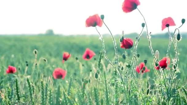 the windy poppy field