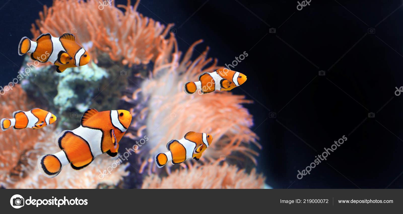 sea anemone clown fish marine aquarium black background mock