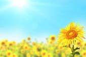 Slunečnice na rozmazané slunné pozadí