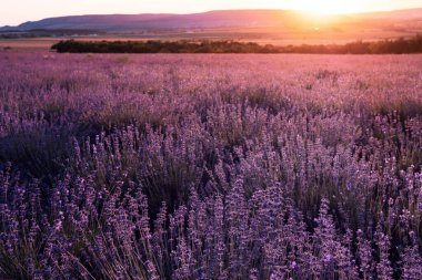 Lavender violet Field in the summer sunset time. lavender field with setting sun and orange sky, close up