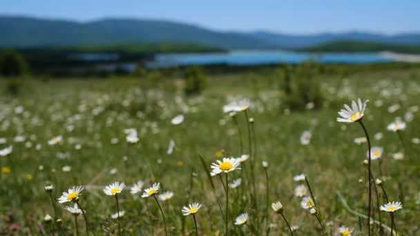 egy kamillamező tavasszal egy gyönyörű tóval és hegyekkel szemben. szél a virágokban. Természeti táj. Gyönyörű természeti táj.