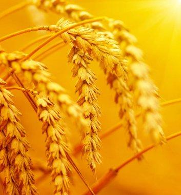 Wheat closeup. Wheat field on sun. Background of ripening ears of wheat. stock vector