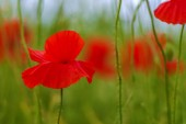 Fényképek vad mák virág mező