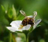 Včela na květu. Včela v práci