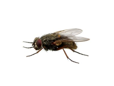 Fly isolated on a white stock vector
