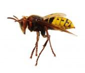 Fotografia Hornet isolato su bianco